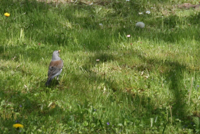 13-5 kramsvogel
